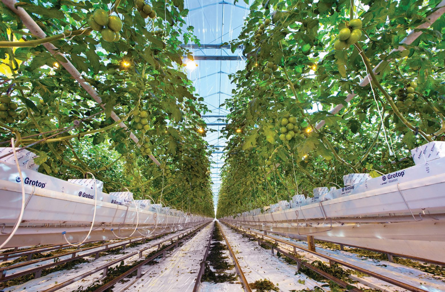 Dutch-greenhouse-with-tomatoes-grown-in-GRODAN_COM