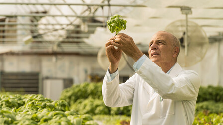 Man checking green basil plants in greenhouse.  GRODAN, Green, Horticulture.