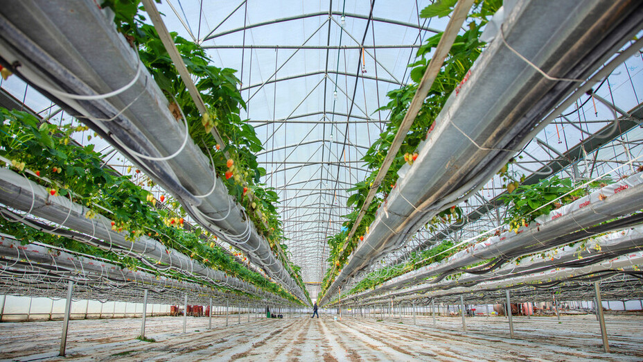 Strawberry Fields Case Study, 2018, Cultivation on stone wool, Grotop Expert, GroSens sensors